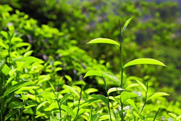 Melaleuca Essential Oils