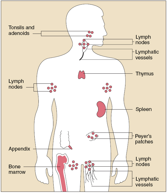 How You Can Assist Your Immune System Organs